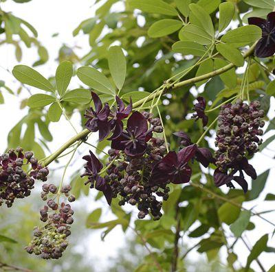 Floraison de l'Akebia longeracemosa