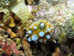 Voyage-plongée: St Valentin, Phyllidia ocellata, Nudibranches