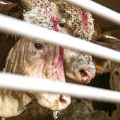 """Canicule et records de chaleur en vue : """" il faut interdire les transports d'animaux d'abattoir ! """""""