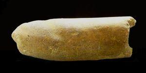 Pleurobelus compressus
