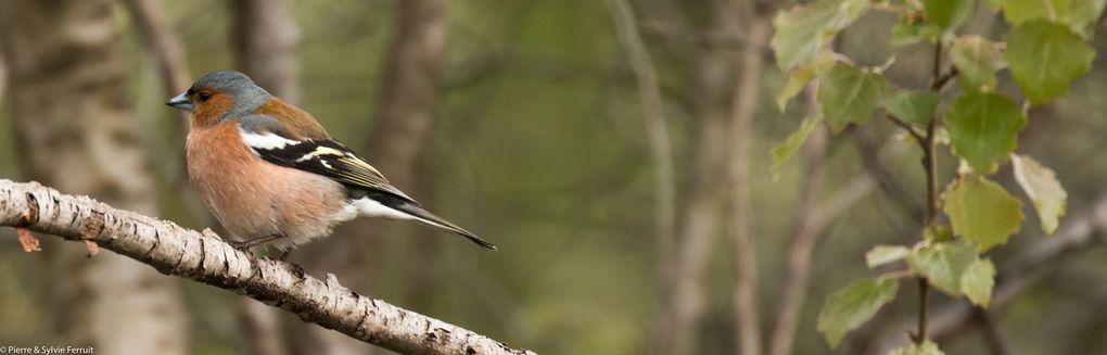 Pinson des arbres (Fringilla coelebs - Common Chaffinch - Vink)