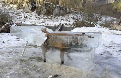 La volpe congelata in un blocco di ghiaccio mentre attraversava il Danubio