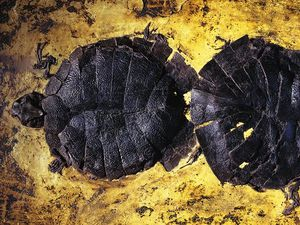 Fossile de Messel pit - A gauche, crocodile préhistorique découvert par des mineurs en 1875 - photo Berthold Steinhilber - à droite, des tortues d'eau douces - photo Jonathan Blair / Corbis / Smithsonian - un clic sur les photos pour agrandir.