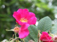 Les rosiers rugosas (suite)