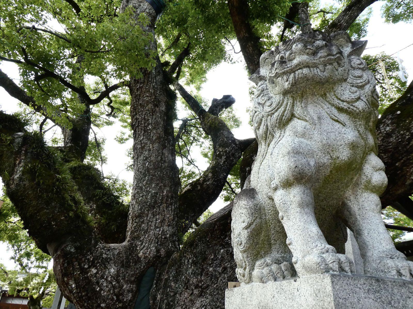 Impressionnant arbre sacré plusieurs fois centenaire