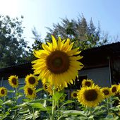 Fleurs du jour (20-02) - Les tournesols à Tien Talay - Noy et Gilbert en Thaïlande
