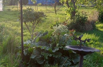 La rhubarbe :-)