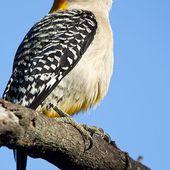 Pic à front doré - Melanerpes aurifrons - Golden-fronted Woodpecker