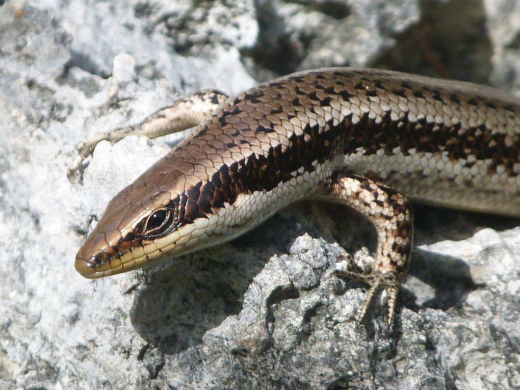 Reptiles des Antilles françaises