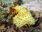 Voyage-plongée: Anémone de mer à tétines, Entacmaea quadricolor