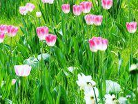 Explosion de bulbes : tulipes, narcisses et fritillaires impériales