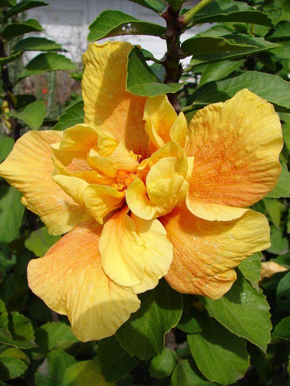 les hibiscus de La Réunion