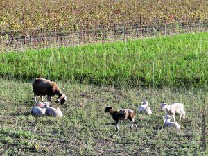 Un petit mouton bien différent...