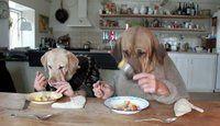 Humour: Des chiens humains mangent à table au restaurant - 5 videos