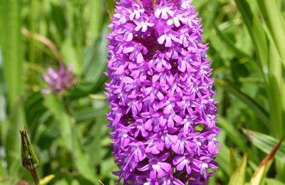 Les orchidées sauvages de Lectoure