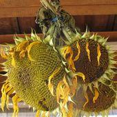 Récolte et séchage des graines de tournesols