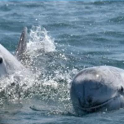 Suivi dauphins de Risso