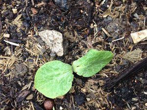 Les premiers pas des semis : dans l'ordre Carottes, Potimarron, Radis, Poirées, Maïs, Navets, Chicorées, Pommes de Terre