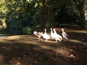 St James Park et ses animaux : péruches, écureuils, canards, oies et pélicans