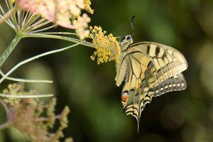 Machaon, quel drôle de nom pour un papillon