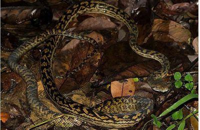 Faune australienne: le Python améthyste