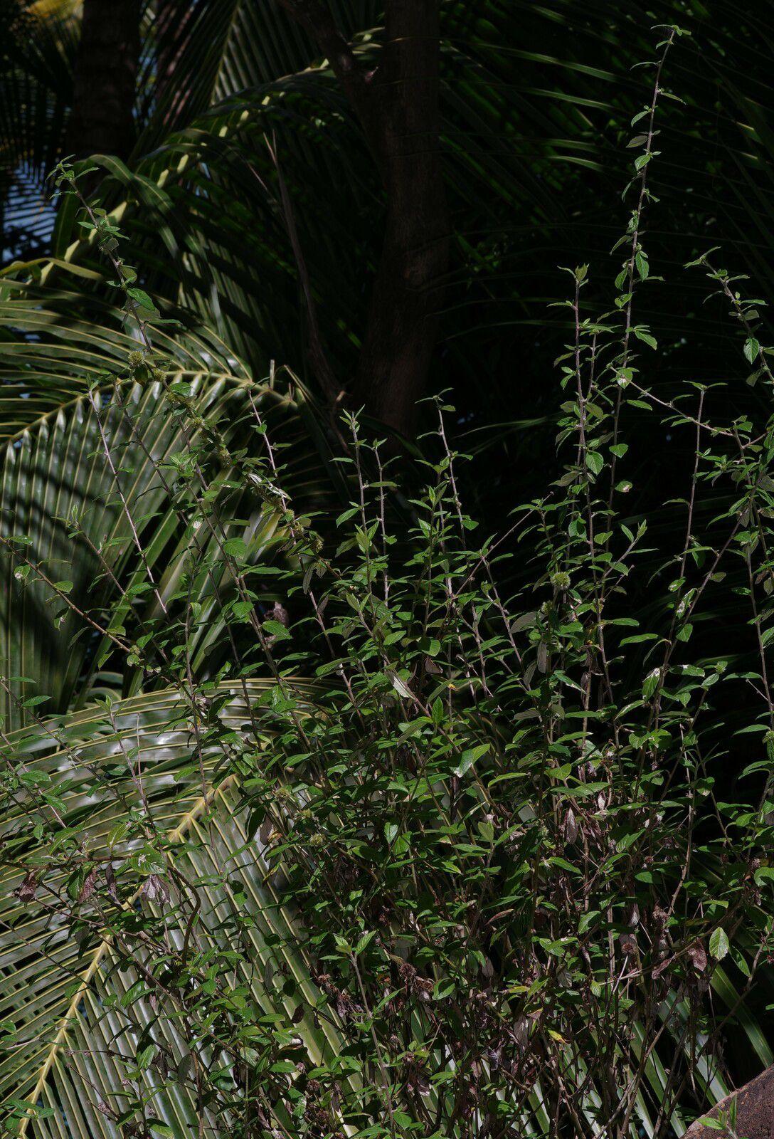 Rolandra fruticosa (radié commandeur, tête de nègre)