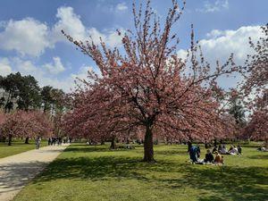 les cerisiers japonais au parc de Sceaux