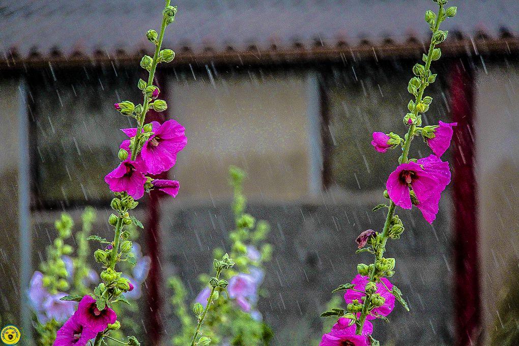 La Mure Argens la maison des roses trémières