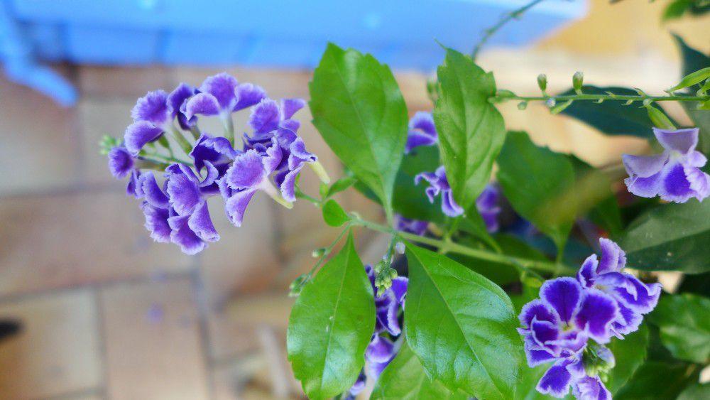 Un bonsaï d'intérieur à jolies fleurs lilas...