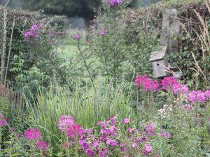 Le Vernonia crinita 'Mammuth'