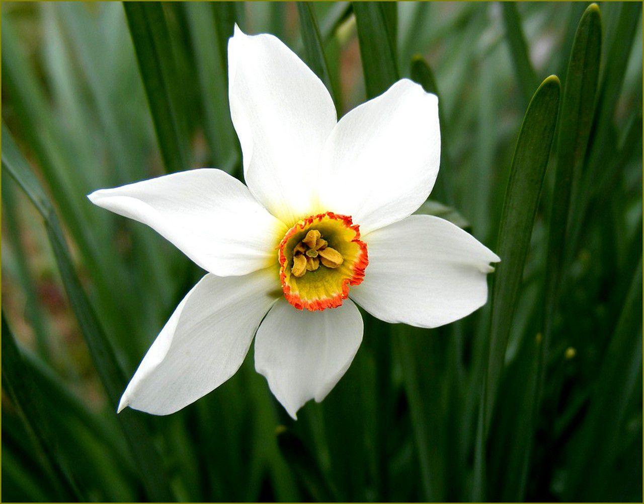 Mythologie des fleurs -  le narcisse et la jonquille
