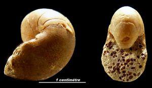 Cenoceras (Digonioceras) excavatum.
