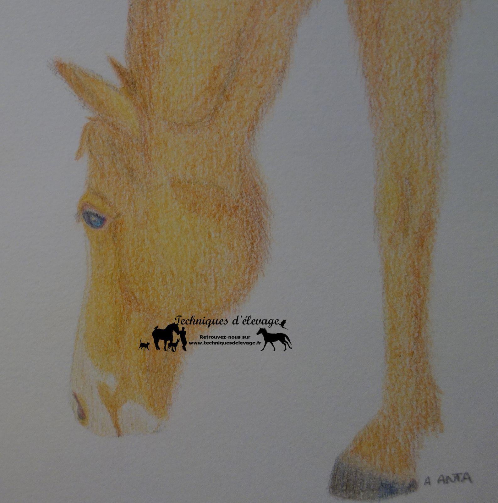Dessin cheval Anne ANTA - tous droits réservés à Techniques d'élevage