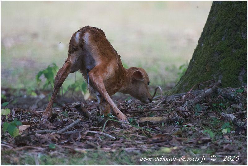 Les faons sont capables de se tenir debout en général dans la demi-heure qui suit la naissance.