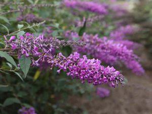 Variété 'Argus Velvet' (chez Promesse de fleurs) et 'Argus White' (chez Jardin du Pic-vert)