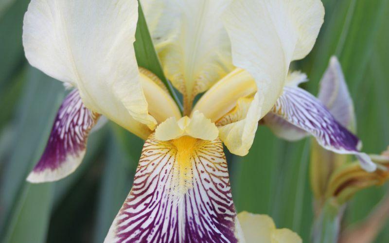 c2. Les Iris de jardin (barbatus)