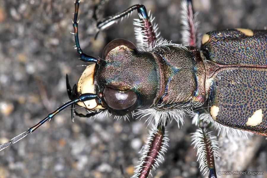Coléoptères au bord du Giffre