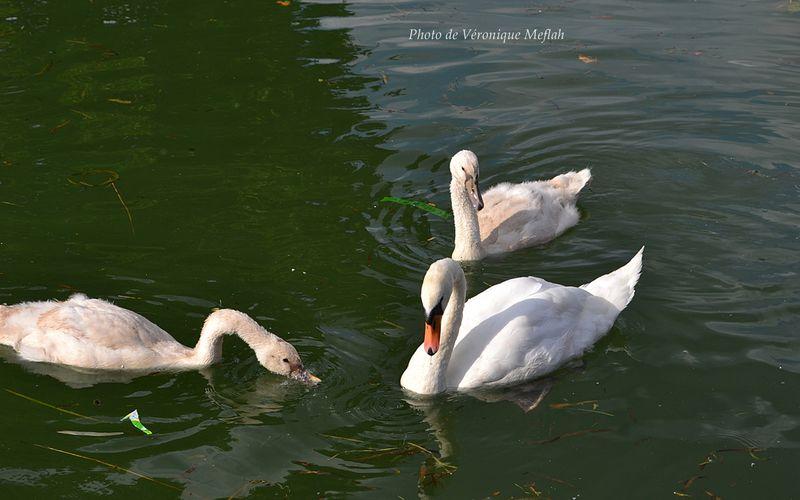 Deux bébés cygnes tués à Paris 19ème, Canal de l'Ourcq-Parc de la Villette