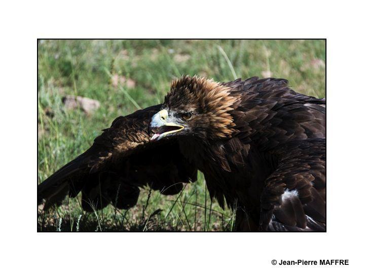Ces scènes de chasse nous offrent des images d'aigles en gros plan.
