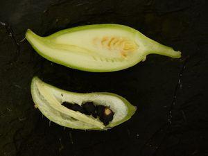Peu de différence de taille, mais une grande différence de maturité entre les cyclanthères lisses et les épineux.
