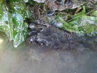 Crabe vert (Carcinus maenas), Etrille ((Necora puber) et Crabe marbré (Pachygrapsus marmoratus) à droite.