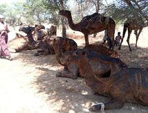 Suite aux feux de brousse dans la Batha, l'ONG AHA tire la sonnette d'alarme