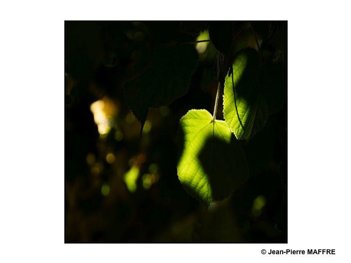 Quel spectacle étonnant que d'observer la lumière dans le feuillage d'été d'un tilleul plus que centenaire.