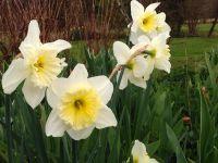 Ordre de floraison de début mars à mi-avril : Jonquilles botaniques, Jonquilles trompettes, Narcisses 'Double sweet desire', Narcisse 'Tahiti', Narcisses jonquilles