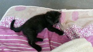 Moka, chaton femelle noire, à l'adoption -> adoptée