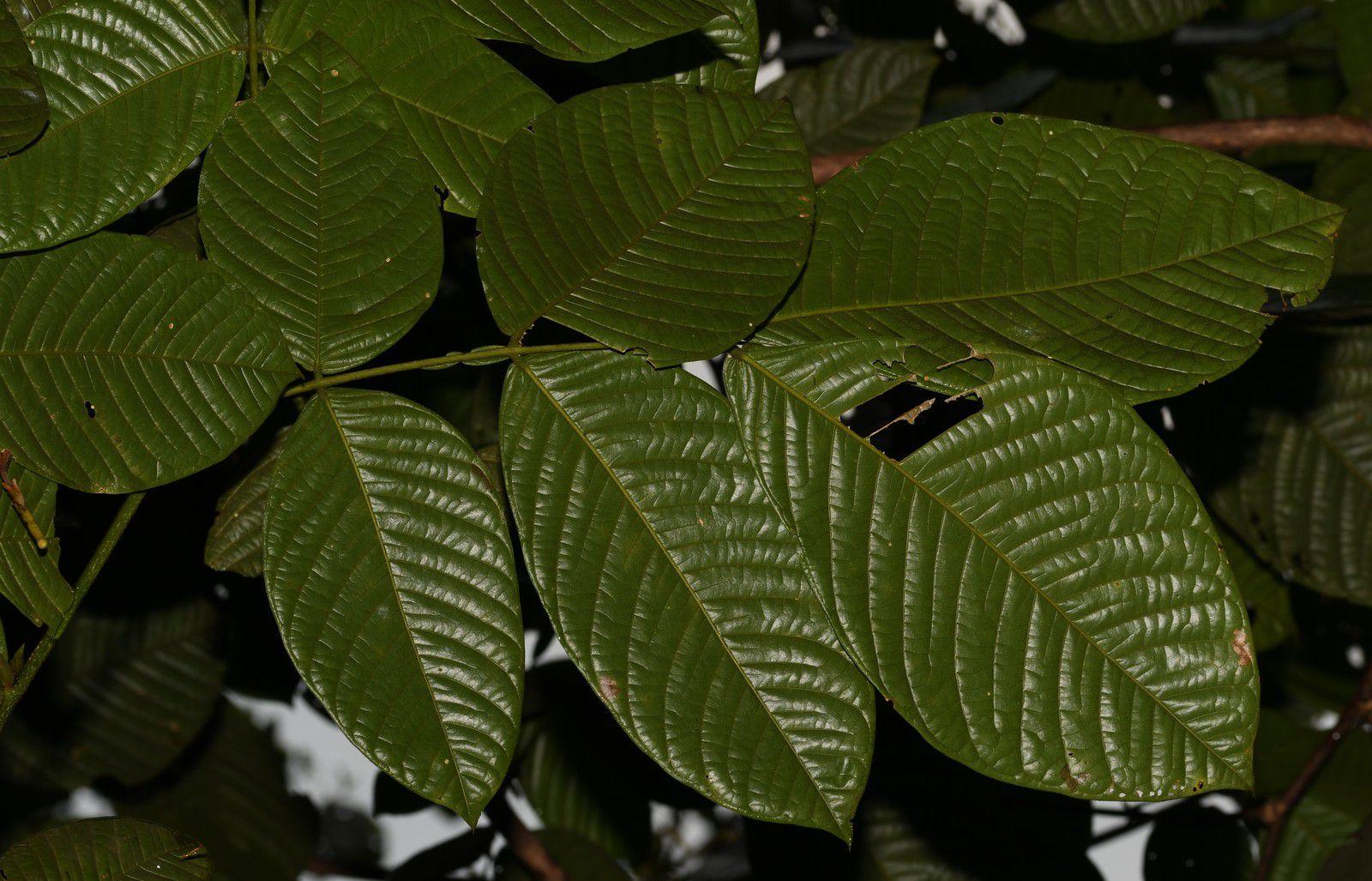 Inga macrophylla