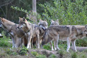 Quel avenir pour le loup en France en 2025-2030 ?