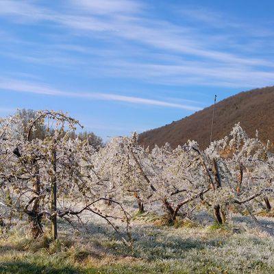 Massiac Florian Itier tente de sauver sa récolte de pommes