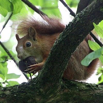 Novembre:écureuil roux