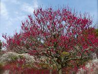 """Fin février à mi-mars: La féérie des fleurs de pruniers """"Umé no Hana 梅の花"""""""